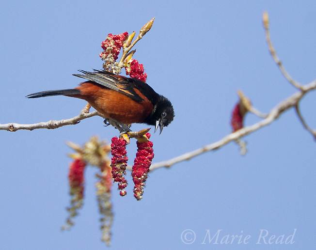 Orchard Oriole (Icterus spurius) male feeding on catkins in spring, New York, USA