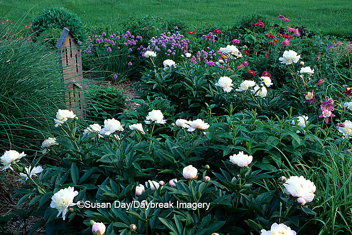 63821-04215 Perennial butterfly hummingbird garden  Miscanthus, Peonies, Painted daisies,chives   IL