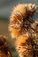 Thistle flower in autumn, Tuscany, Italy