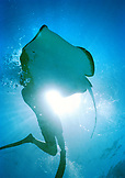 CAYMAN ISLANDS, Grand Cayman, snorkeling with sting rays at Sting Ray City in the Caribbean Sea