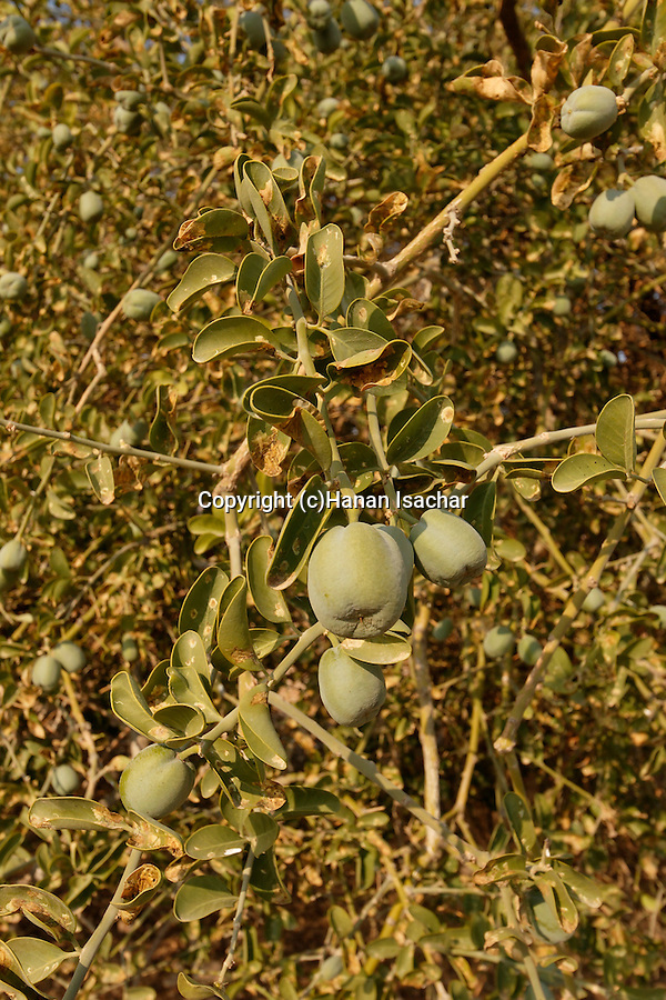 The fruit of a Jericho Balsam tree (Balanites Aegyptiaca) in the Jordan Valley<br />