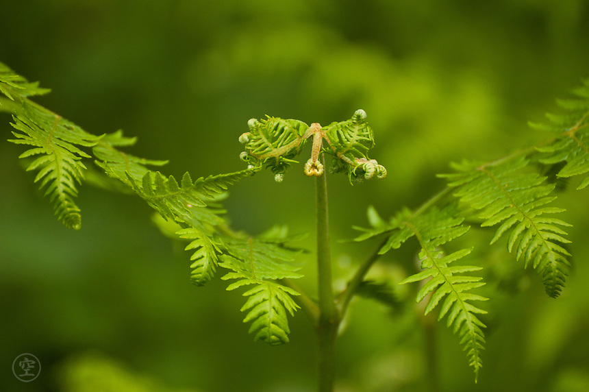 The unfurling fronds of a young bracken fern.