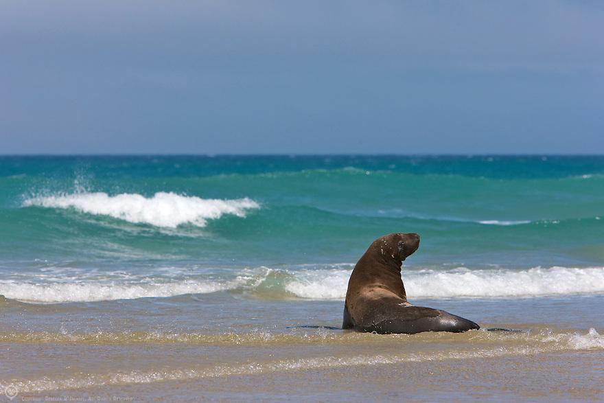 Hooker's Sea Lion