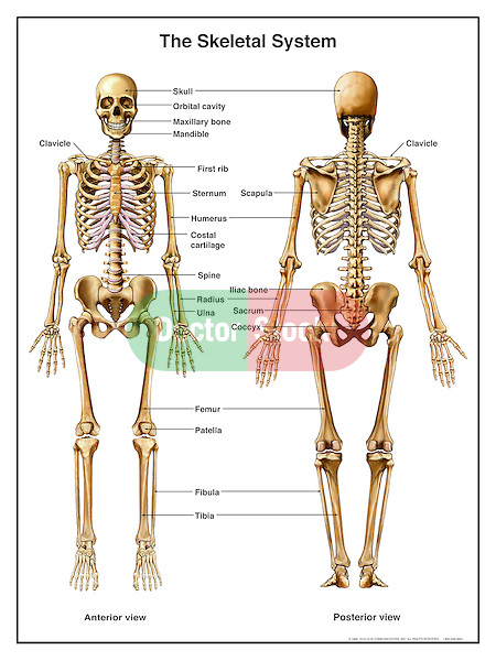 anatomy of the skeletal system | doctor stock, Skeleton