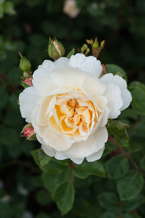 Rosa Crocus Rose ('Ausquest'), early June. A modern shrub rose from David Austin, 2000.  Soft apricot-coloured flowers, with pale cream outer petals, turning creamy white as they age.