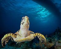 Hawksbill Turtle, Eretmochelys imbricata, Turks and Caicos, Atlantic Ocean