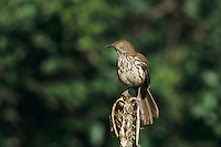 Long-billed Thrasher, Toxostoma longirostre,adult, Sabal Palm Sanctuary, Rio Grande Valley, Texas, USA, May 2004