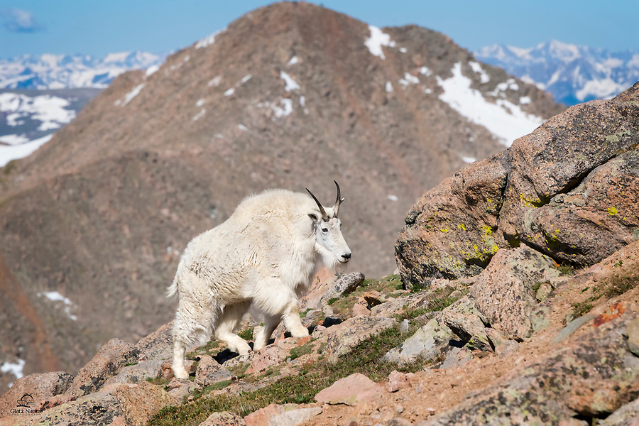 Adaptation at its best.  The Mountain Goat (Oreamnos americanus) inhabits some of the harshest terrain on Earth.  Its feet are made for climbing steep, rocky slopes, and feature inner pads that maximize grip and cloven hoofs that spread apart.  Powerful neck and shoulder muscles help propel them up the slopes.  Mount Evans, Colorado.