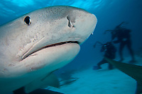 scuba divers observe tiger shark, Galeocerdo cuvier, was attracted with bait to be photograhed, Bahamas, Atlantic Ocean