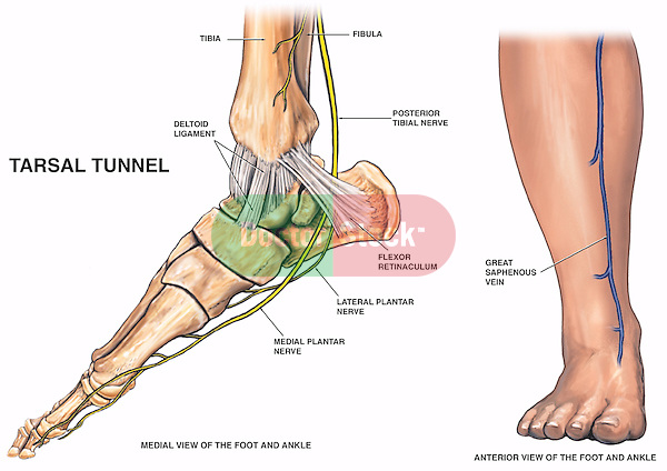 Anatomy Of The Lower Leg And Foot Doctor Stock