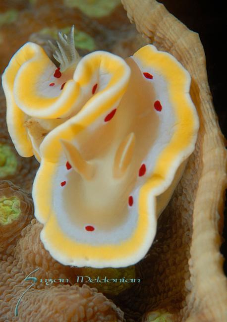 Red Spot Glossidoris, Glossidoris cruenta, Anilao, Batangas, Philippines, Amazing underwater Photography