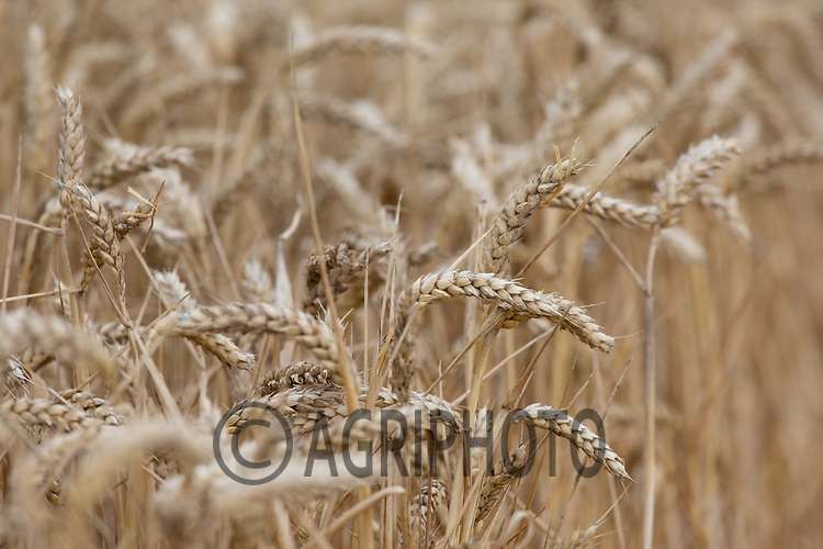 23.7.2020 Wheat ready for harvesting  <br /> ©Tim Scrivener Photographer 07850 303986<br />      ....Covering Agriculture In The UK.