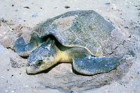 Kemp's ridley sea turtle, Lepidochelys kempii, with tag on flipper, digging nest, Rancho Nuevo, Mexico, Gulf of Mexico, Caribbean Sea, Atlantic Ocean