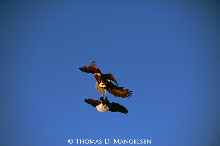Bald eagles fighting in the sky above Kachemak Bay on the Kenai Peninsula in Alaska.