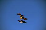 Bald eagles fighting in the sky above Kachemak Bay on the Kenai Peninsula in Alaska.