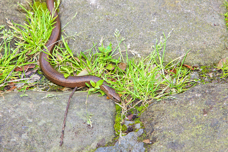 Slow-worm (Anguis fragilis) moving in grass between natural stone paving. Slow worm do have a pair of eye so a little mis leading to refer to them as blind worms. One of the biggest causes of mortality in slow worms in suburban areas is the domestic cat, against which it has no defence. UK