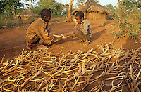 Fulani children playing with herd made of branch sticks of Arungana madagascarensis