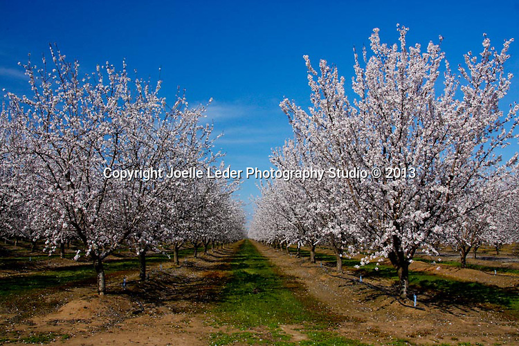 Fresno Blossom Trail, Almond Trees, Oak Trees, Foothills, Spring Flowers, Wild Flowers, Madera, Fresno, California, Fresno County, Madera County, Photos by Joelle Leder Photography, Award Winning Landscape Photographer, Flower  Photography, Fresno Photographer, The Studio Yosemite, Joelle Leder Photography, Oakhurst Photo Studio