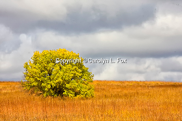 A tree grows in a field on the Kansas prairie.
