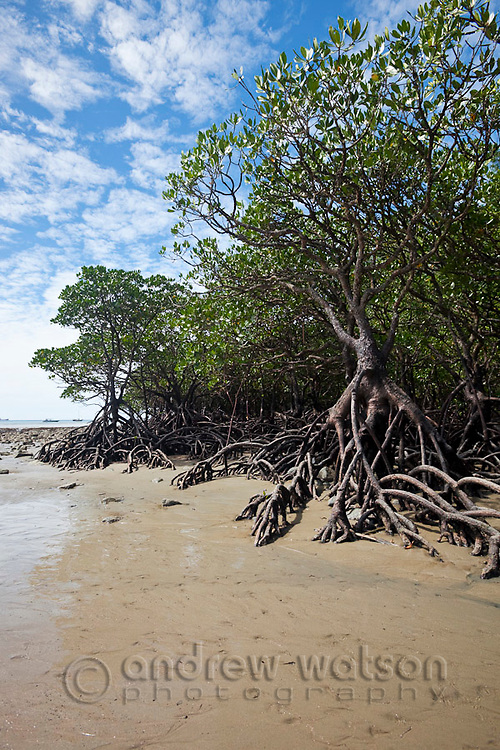Mangrove forest at low tide.  Cape Tribulation Beach, Daintree National Park, Queensland, Australia