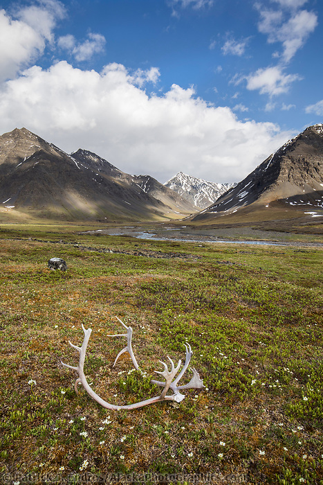 Windflower blossoms and bull caribou antlers along the Itkillik River in the Gates of the Arctic National Park, Alaska