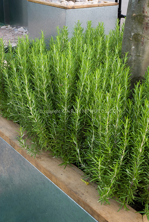 Rosmarinus officinalis foliage in wood edged garden bed, herb rosemary