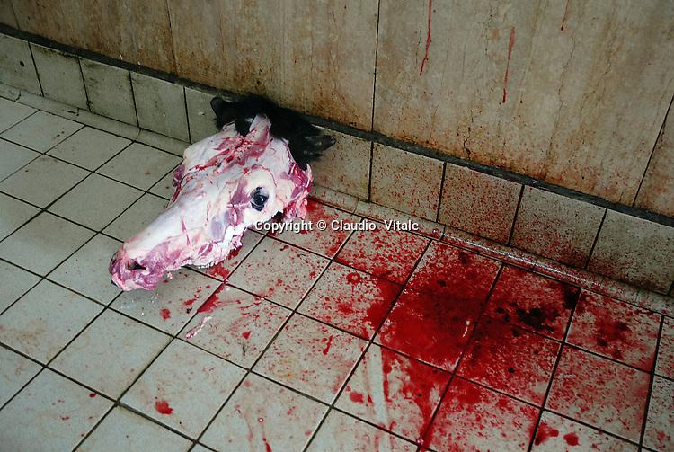 il cranio di una mucca appena macellata. a just slaughtered cow skull.