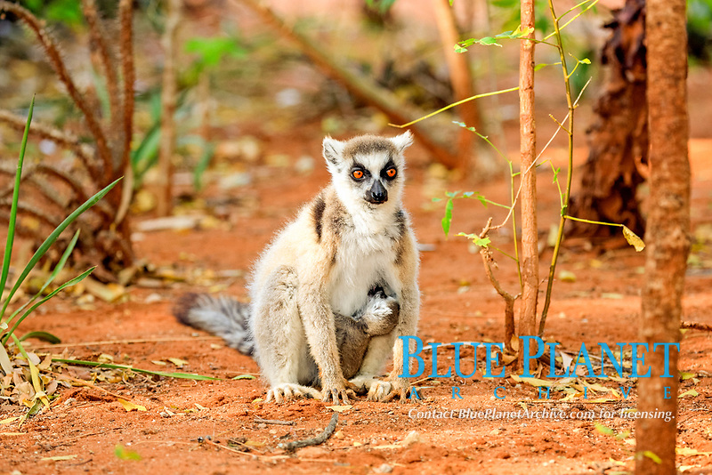 Ring-tailed Lemur (Lemur catta), mother with young, nursing, Berenty Reserve, Madagascar, Africa