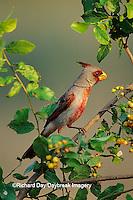 01531-00209 Pyrrhuloxia (Cardinalis sinuatus) male in Anacua tree (Ehretia anacua) Starr Co. TX