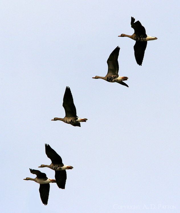 Flock of adult greater white-fronted geese flying