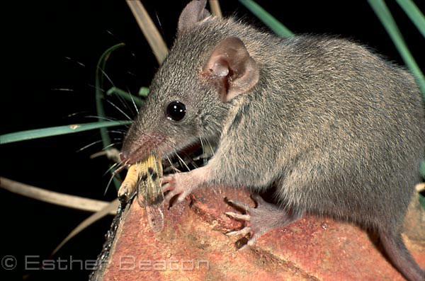 Brown Antechinus (Antechinus stuartii) Southeastern Australia