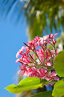 Frangipani flowers<br /> Virgin Islands