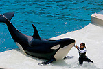 Trainer and Killer Whale (orcinus orca) performing tricks during show at Sea World, near San Diego, California