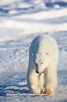 01874-13911 Polar Bear (Ursus maritimus) in Churchill Wildlife Management Area, Churchill, MB Canada