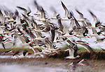 A flock of black skimmers on Clump Island, Chesapeake Bay.