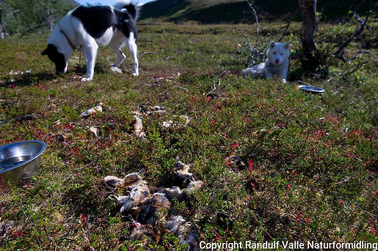 Grønlandshund har fanget stort antall lemen. ---- Greenland dog and dead lemmings.