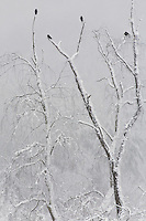 Snow covered tree and ravens, Flint Mountain