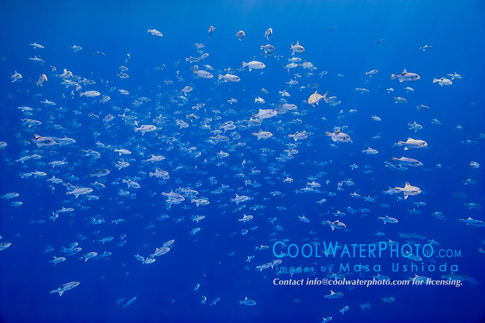 large aggregation of spotted oceanic triggerfish or ocean triggerfish, Canthidermis maculata, Kona Coast, Big Island, Hawaii, USA, Pacific Ocean