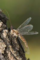 Owlfly, Ascalaphidae, adult on mesquite tree bark, Willacy County, Rio Grande Valley, Texas, USA, June 2006