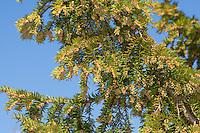 Europäische Eibe, blühend, Eibenbaum, Taxus baccata, European yew, Common yew