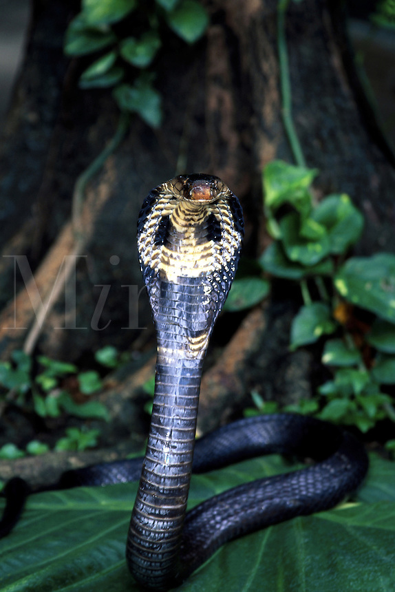 Venomous cobra [Naja naja] is poised to strike. Thailand.<br />