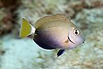 Acanthurus tractus, Ocean surgeonfish, juvenile, Florida Keys