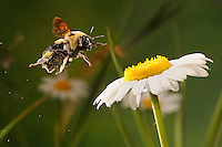 A bumblebee in flight in a field of daisies