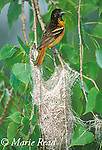 Baltimore Oriole (Icterus galbula) female at nest, Ithaca, New York, USA<br /> Slide # B166-233
