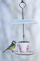 """Blaumeise, Blau-Meise, Meise, Meisen, Cyanistes caeruleus, Parus caeruleus, blue tit, La Mésange bleue. Futterhäuschen, Futterplatz aus Porellan-Geschirr, Kaffeegeschirr selber basteln, einen attraktives Vogelfutter-Häuschen aus einen ausgedienten Kaffeservice und einer Etagere basteln, """"Vogelfutter-Etagere"""", Vogelfutter selbst herstellen, Vogelfutter selber machen, Vogelfutter selbermachen, Vogelfütterung, Fütterung, bird's feeding, """"upcycling, Wiederverwertung"""""""