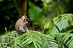 Long-tailed Macaque (Macaca fascicularis) juvenile licking water off arm, Tawau Hills Park, Sabah, Borneo, Malaysia