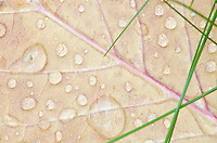 Water Drops and grasses create a pattern on top of a autumn leaf on the ground, The Clearing, Door County, Wisconsn