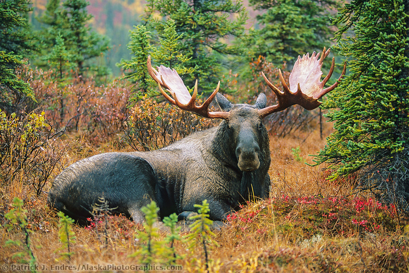 Bull moose, bedded down, autumn tundra and boreal forest, Denali National Park, Alaska