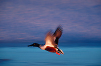Northern shoveler flying