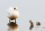 """These photographs show the sweet moment two young cygnets follow in their fathers footsteps and mimic him as he preens in a pond. <br /> <br /> The adorable shots were captured by Johann Schumacher Jin amaica Bay National Wildlife Refuge in New York, USA. <br /> <br /> The cygnets - just a few weeks old - good in the water as they copied the adult male swan preening. <br /> <br /> Retired graphic designer Mr Schumacher said """"It was a touching moment seeing these little creatures so eagerly trying to follow in their dad's footsteps during their early morning preying lesson"""". <br /> <br /> Please byline: Johann Schumacher/Solent News<br /> <br /> © Johann Schumacher/Solent News & Photo Agency<br /> UK +44 (0) 2380 458800"""